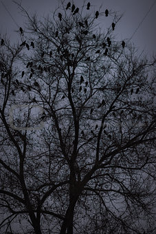 A lot of ravens sitting on leafless tree. Night photo