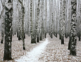 Snow pathway in autumn birch forest