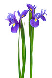 two purple iris