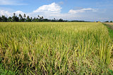 Paddy field with ripe paddy under the blue sky