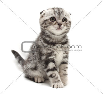 Small gray lop-eared kitten isolated on white background
