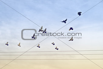 Flock of Pigeons over Power Wires