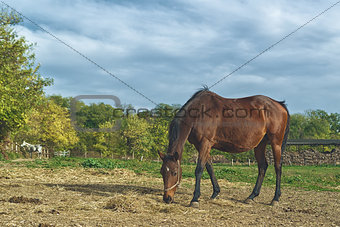 Grazing Chestnut Brown Horse on the Farm