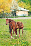 Horse foal sucking from mare