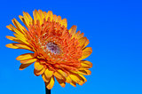 Orange Gerbera flower on sky background