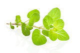 Marjoram herb isolated.