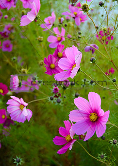 Bright Beautiful Pink Flowers on the Green Blurred Background