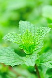 mint plants grow in vegetable garden