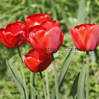 Group of red tulips