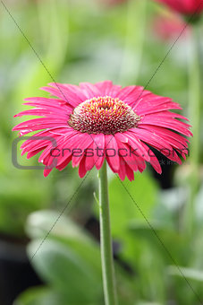 Close up Pink Gerberas flower