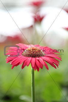 Close up Pink Gerberas flower