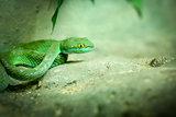 Big-Eyed Pit Viper