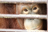 Orangutan look and smile inside cage
