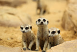Lovely Meerkats looking