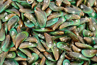 Green mussels shell