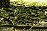 Close up Tree Roots background