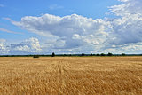 Summer sunny Landscape with  grain field in Russia.
