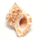 large seashell