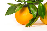 Tangerine on branch