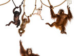 Young Orangutan, young Pileated Gibbon and young Bonobo hanging