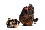 Hen and her chicks