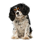 cavalier king charles spaniel (5 years old)