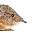 Elephant shrew - Macroscelides proboscideus - isolated on whitre
