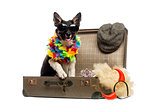 Border collie sitting in an old vintage suitcase full of accesso