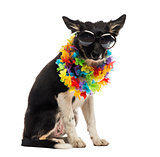 Border collie sitting and wearing sunglasses and a hawaiian lei