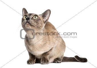Tonkinese sitting, looking up, isolated on white (18 months old)
