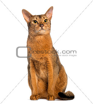 Abyssinian, sitting (2 years old), isolated on white