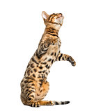 Young Bengal cat on hind legs and pawing (5 months old), isolate