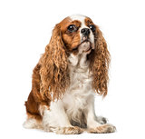 Cavalier King Charles Spaniel (4 years old)