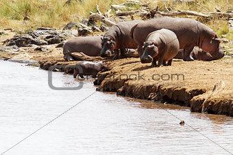 Masai Mara Hippos