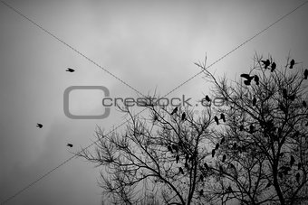 A lot of crows sitting on leafless tree. Black and white