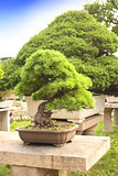 Bonsai in Humble Administrator's Garden, Suzhou, China
