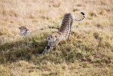 Cheetahs Masai Mara Reserve Kenya Africa