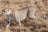 Cheetah Masai Mara Reserve Kenya Africa