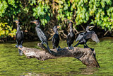cormorants standing branch peruvian Amazon jungle Madre de Dios