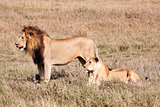 female and male Lion