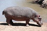 Hippopotamus Masai Mara Reserve Kenya Africa