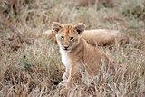 lion cub Masai Mara Kenya Africa