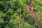 flock of macaws standing in a tree in the peruvian Amazon jungle