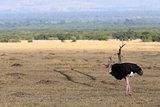 Ostrich Masai Mara Reserve Kenya Africa