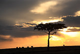 wildebeest sunset Masai Mara reserve in Kenya Africa