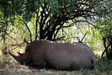 White Rhinoceros Masai Mara reserve Kenya Africa