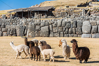 Alpacas  Sacsayhuaman ruins peruvian Andes  Cuzco Peru
