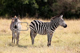 Grevy's Zebra Masai Mara reserve Kenya Africa