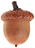 One Ripe Dry Acorn Cutout