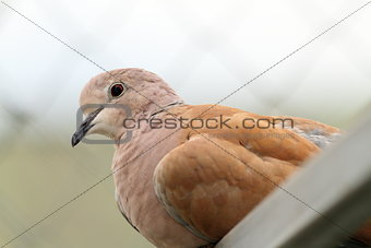 portrait of eurasian collared dove